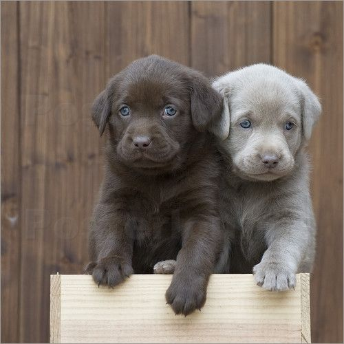 cute-labrador-puppies-that-will-melt-your-heart-14