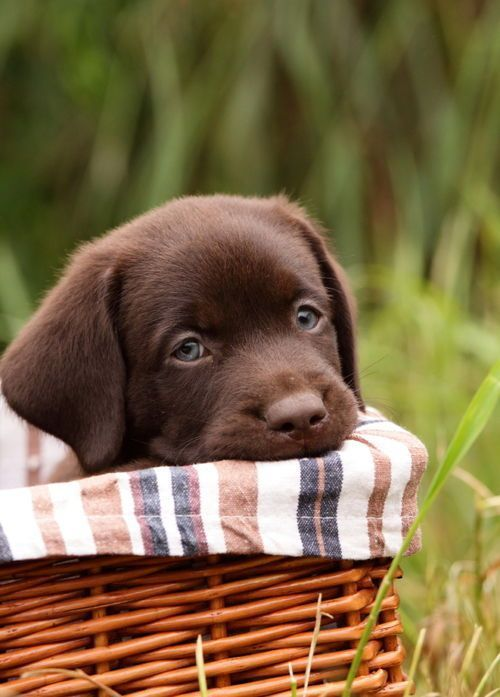 cute-labrador-puppies-that-will-melt-your-heart-17