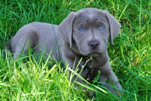 cute-labrador-puppies-that-will-melt-your-heart-18