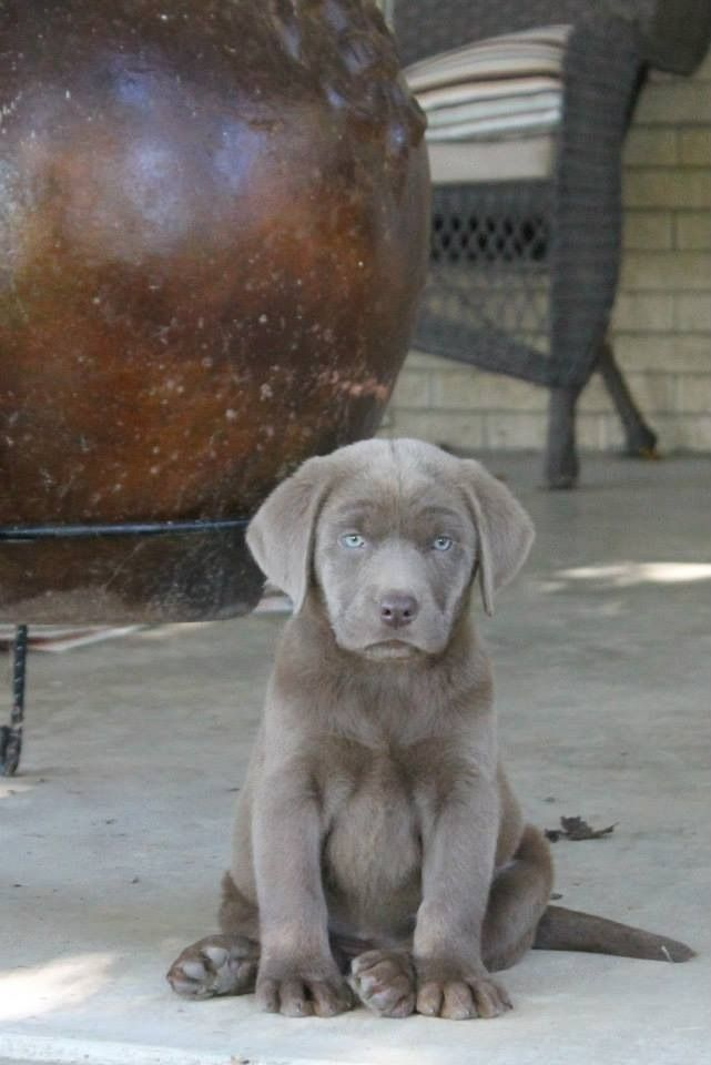 cute-labrador-puppies-that-will-melt-your-heart-19