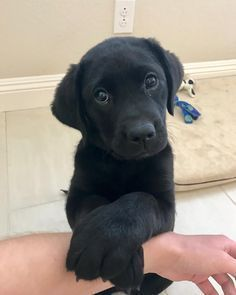 cute-labrador-puppies-that-will-melt-your-heart-2