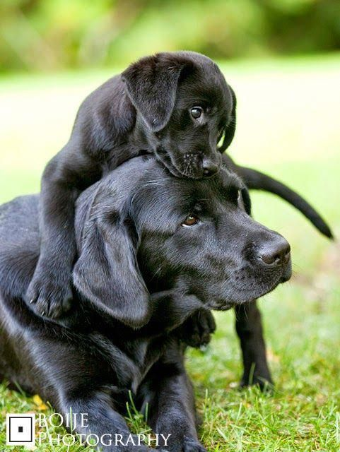 cute-labrador-puppies-that-will-melt-your-heart-21