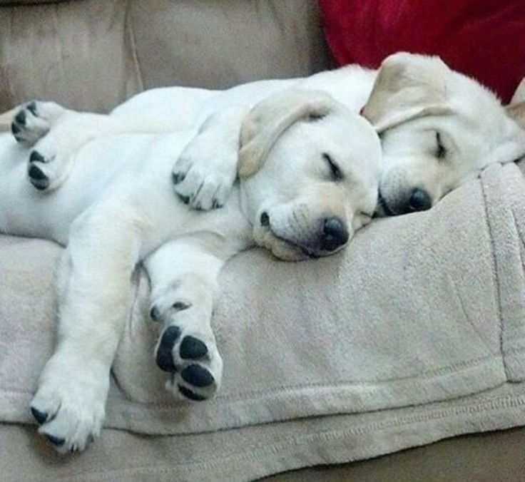 cute-labrador-puppies-that-will-melt-your-heart-23