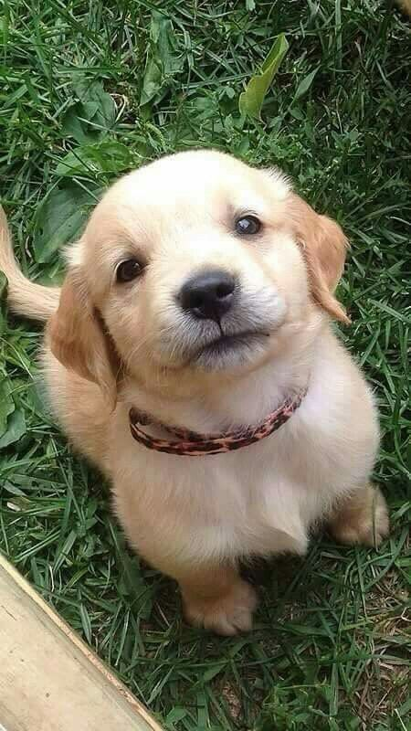 cute-labrador-puppies-that-will-melt-your-heart-24