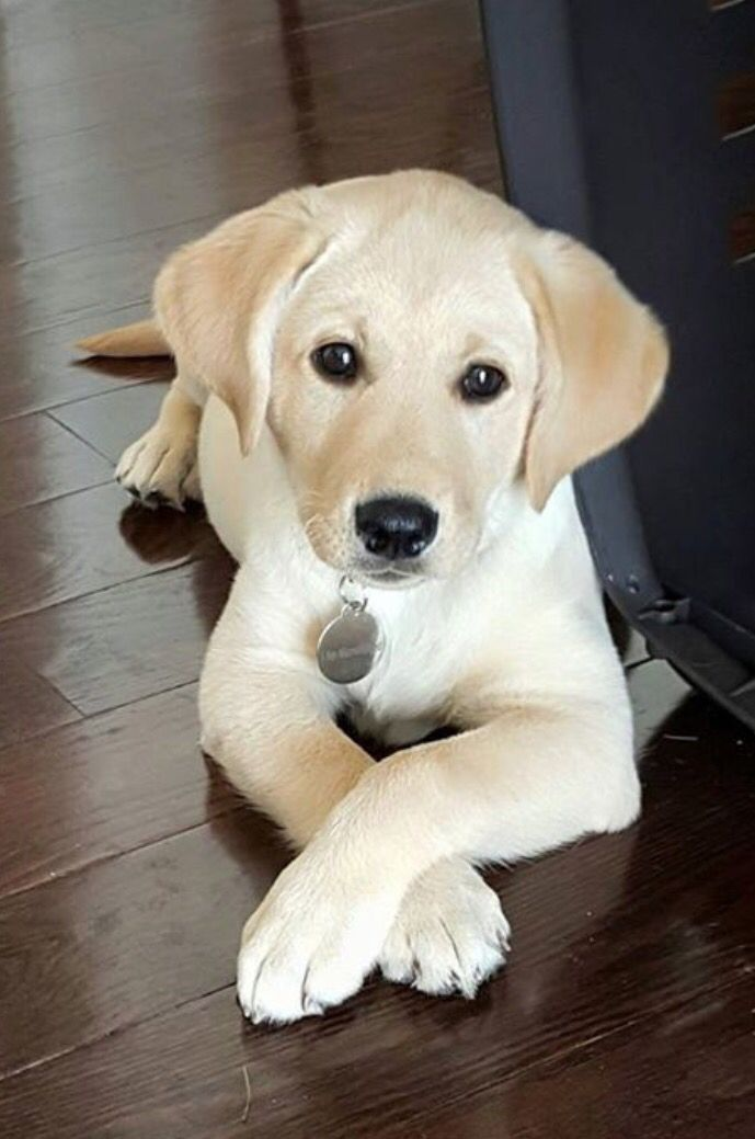 cute-labrador-puppies-that-will-melt-your-heart-25