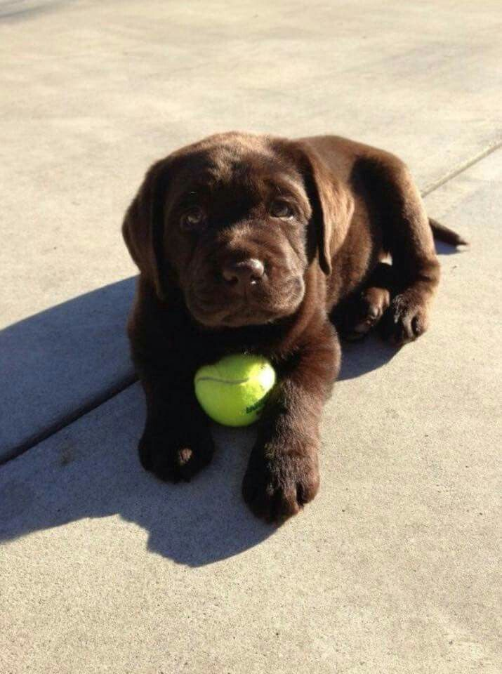 cute-labrador-puppies-that-will-melt-your-heart-26