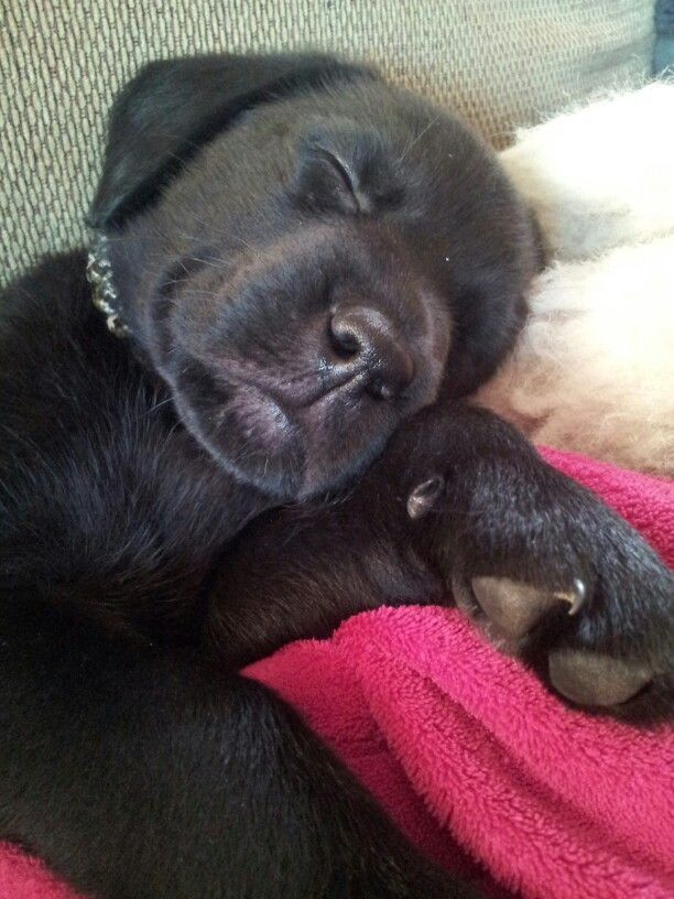 cute-labrador-puppies-that-will-melt-your-heart-27