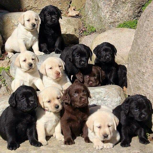 cute-labrador-puppies-that-will-melt-your-heart-28