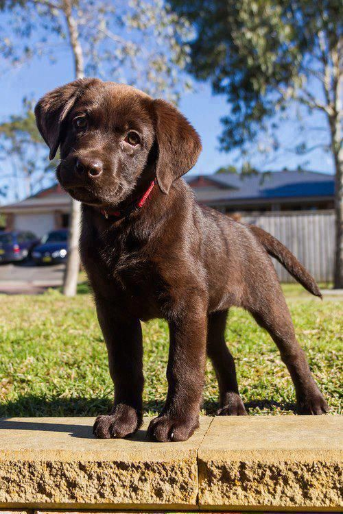cute-labrador-puppies-that-will-melt-your-heart-29