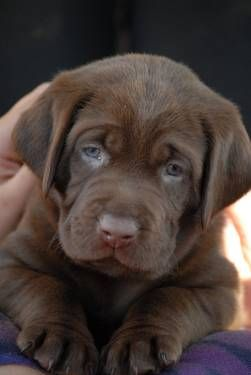 cute-labrador-puppies-that-will-melt-your-heart-3