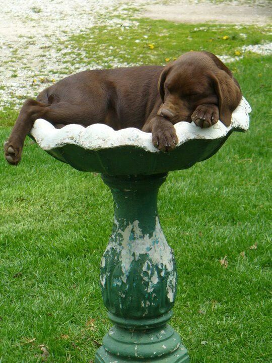 cute-labrador-puppies-that-will-melt-your-heart-30