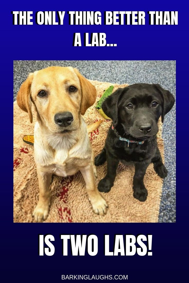 cute-labrador-puppies-that-will-melt-your-heart-35