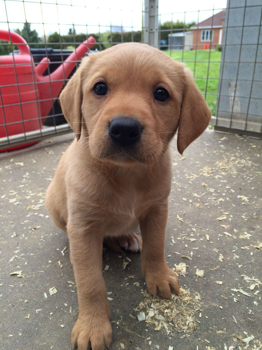 cute-labrador-puppies-that-will-melt-your-heart-37