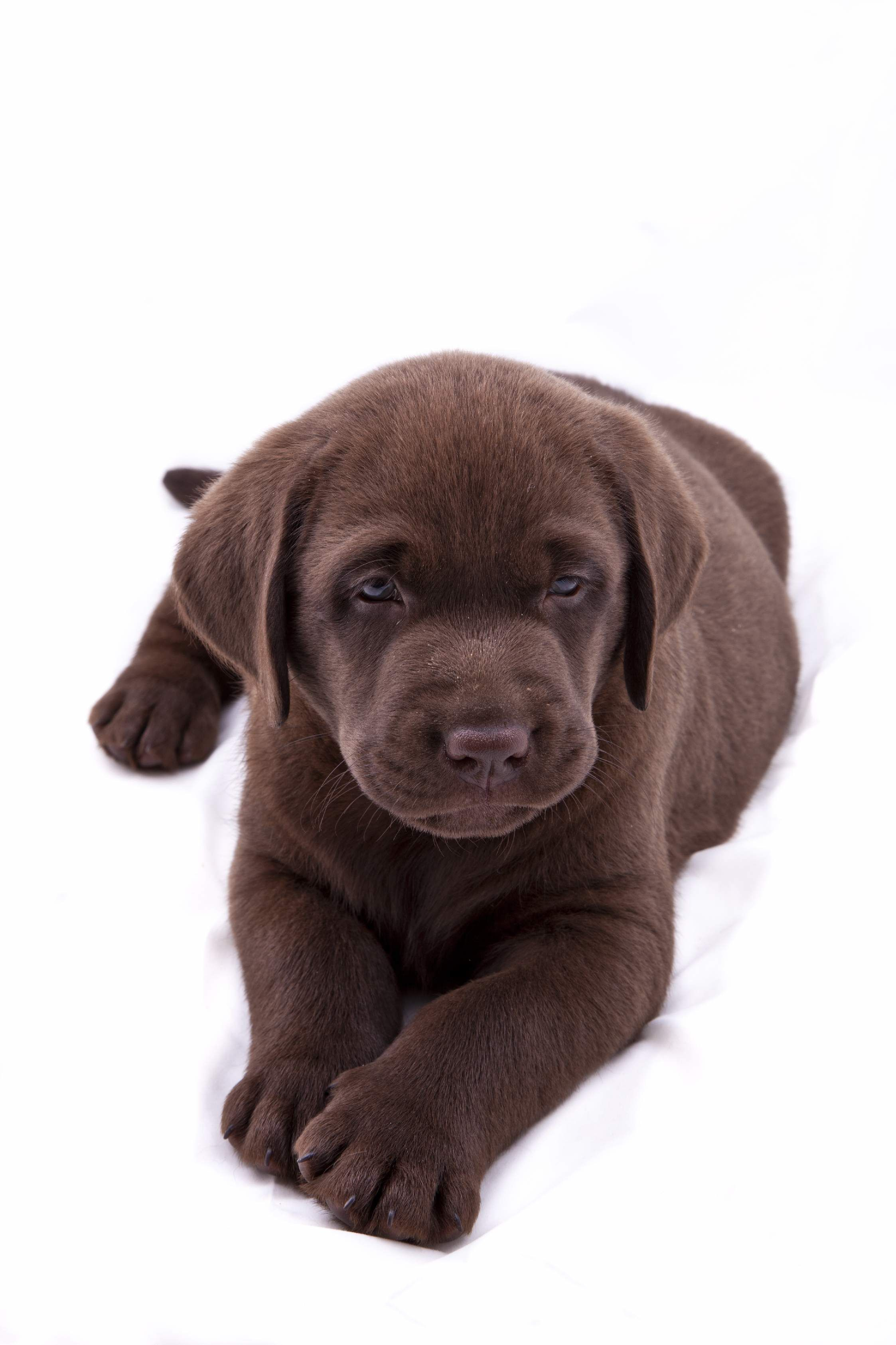 cute-labrador-puppies-that-will-melt-your-heart-38