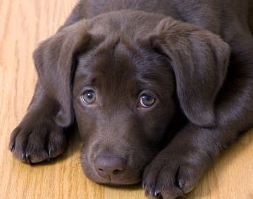 cute-labrador-puppies-that-will-melt-your-heart-6