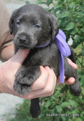 cute-labrador-puppies-that-will-melt-your-heart-7