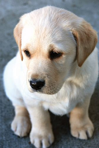 cute-labrador-puppies-that-will-melt-your-heart-8