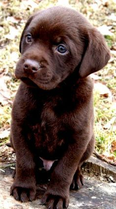 cute-labrador-puppies-that-will-melt-your-heart-9