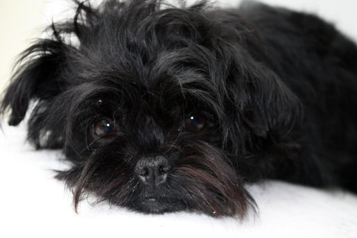 affenpinscher-dog-breed-information-21
