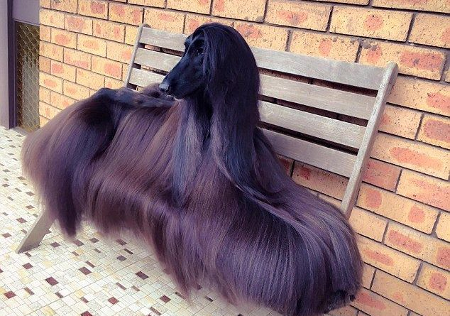afghan-hound-dog-breed-information-6