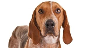 american-english-coonhound-dog-breed-information-1