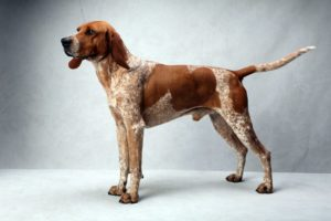 american-english-coonhound-dog-breed-information-13