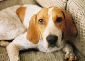 american-english-coonhound-dog-breed-information-14