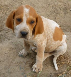 american-english-coonhound-dog-breed-information-15