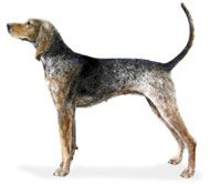 american-english-coonhound-dog-breed-information-16