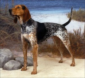 american-english-coonhound-dog-breed-information-18
