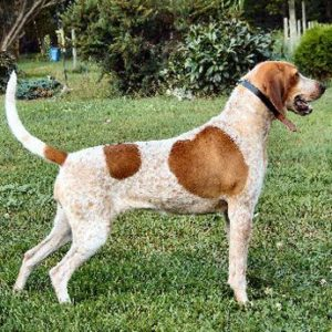 american-english-coonhound-dog-breed-information-19