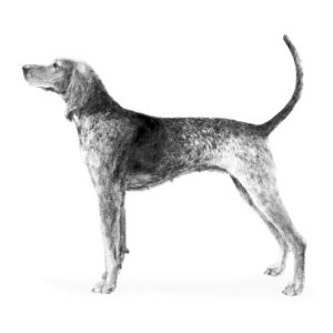 american-english-coonhound-dog-breed-information-2