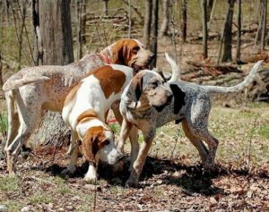american-english-coonhound-dog-breed-information-23