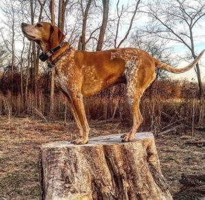 american-english-coonhound-dog-breed-information-24