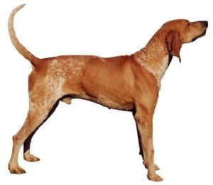 american-english-coonhound-dog-breed-information-27