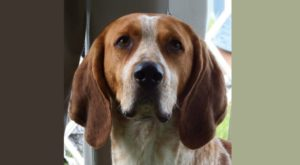 american-english-coonhound-dog-breed-information-3