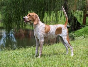 american-english-coonhound-dog-breed-information-4