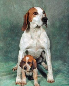 american-english-coonhound-dog-breed-information-7