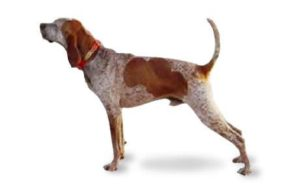 american-english-coonhound-dog-breed-information-8