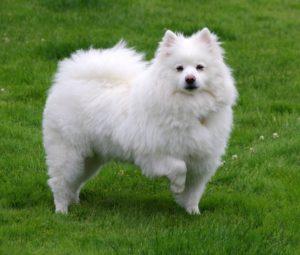 american-eskimo-dog-dog-breed-information-1