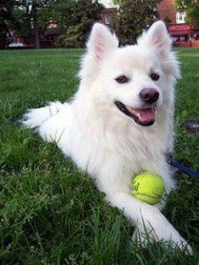 american-eskimo-dog-dog-breed-information-11