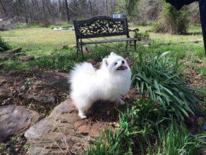 american-eskimo-dog-dog-breed-information-13