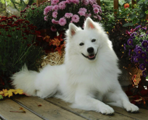 american-eskimo-dog-dog-breed-information-15