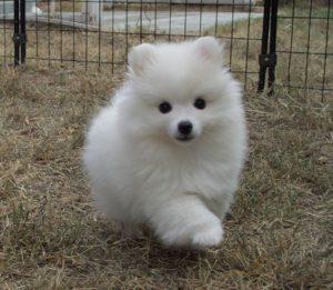 american-eskimo-dog-dog-breed-information-16