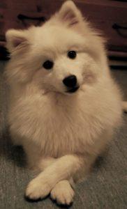 american-eskimo-dog-dog-breed-information-17