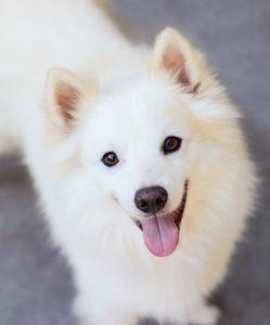 american-eskimo-dog-dog-breed-information-18