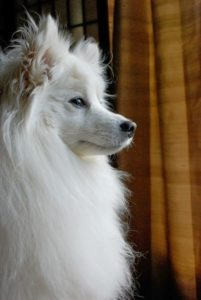 american-eskimo-dog-dog-breed-information-19