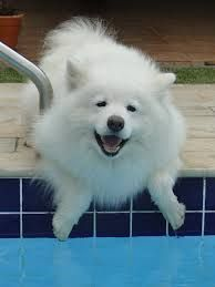 american-eskimo-dog-dog-breed-information-2
