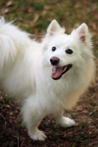 american-eskimo-dog-dog-breed-information-20