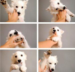 american-eskimo-dog-dog-breed-information-21